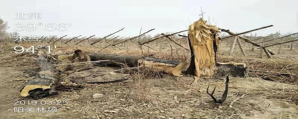 敦煌毁林事件